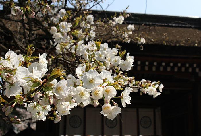 32神門と桜(内側から)