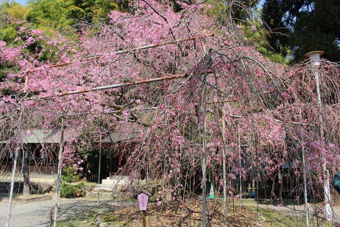 75見頃でない枝垂れ桜