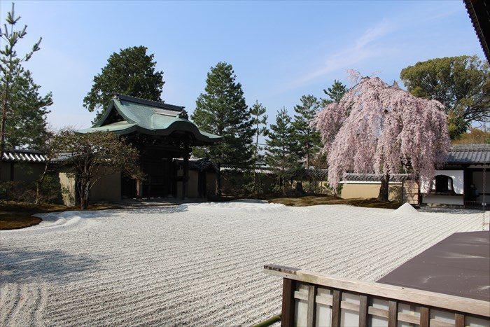 43高台寺の桜の見頃