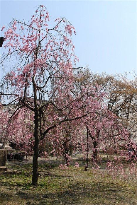 26境内のしだれ桜
