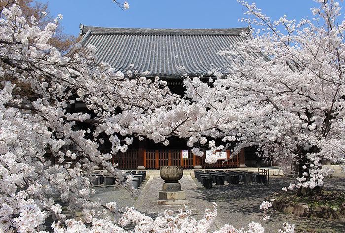 19立本寺の桜が通せんぼ
