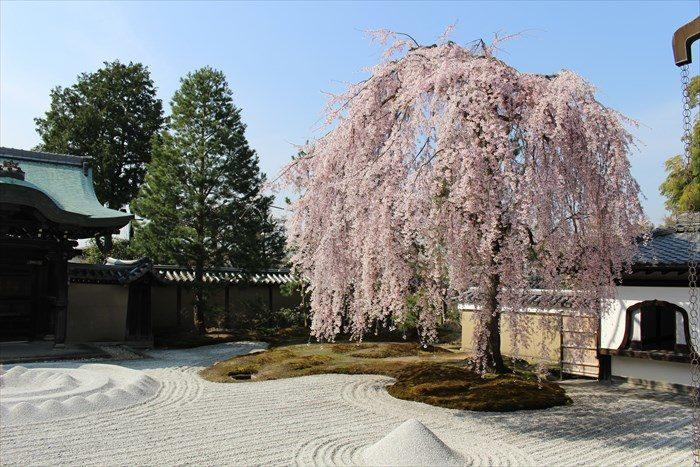 41高台寺の桜の見頃