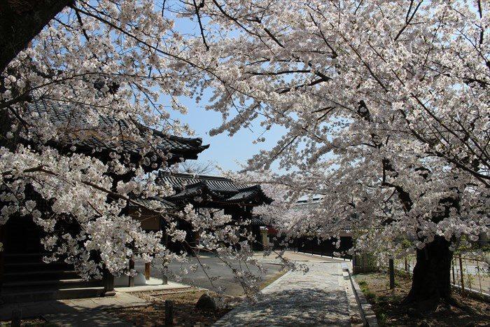 53立本寺の桜が見頃
