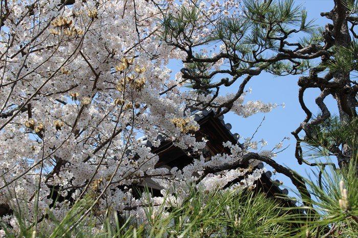39方丈の屋根と桜と松