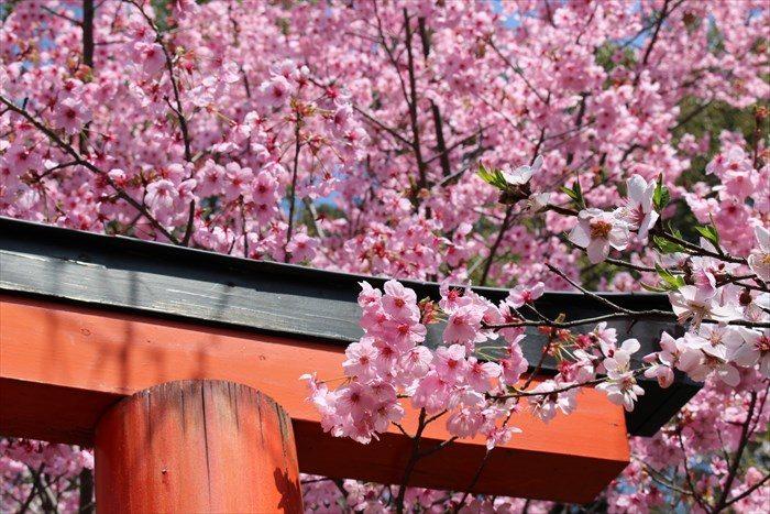 73見頃の桜