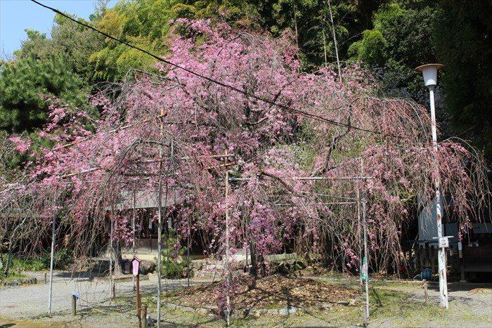 22拝殿横の枝垂れ桜(八重紅枝垂)