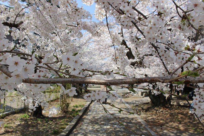10通せんぼする桜の枝