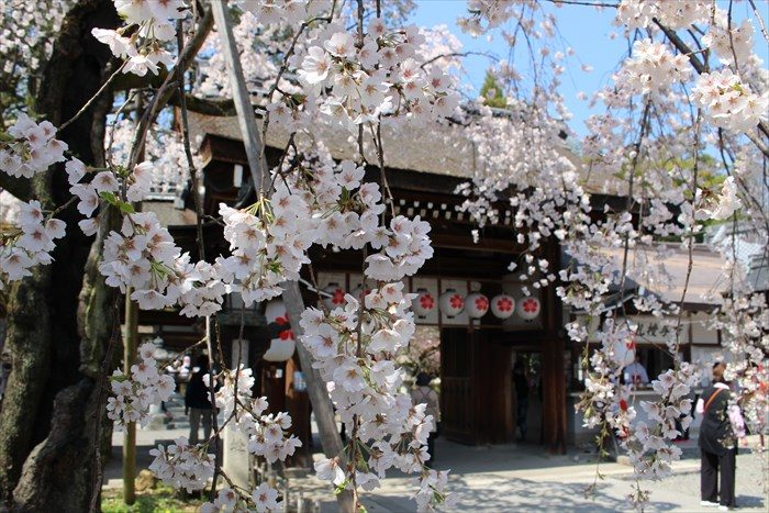 13魁桜と神門