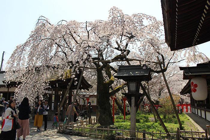 12平野神社の魁桜