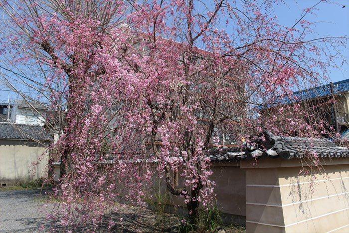 38しだれ桜