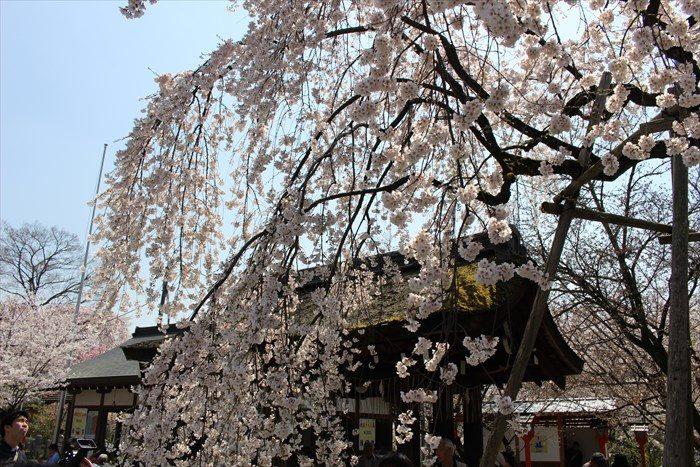 16手水舎の屋根と魁桜