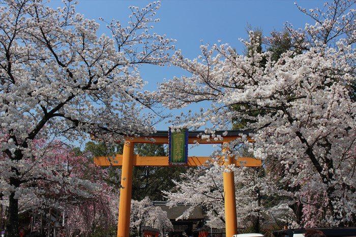 71平野神社の桜