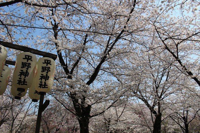 74平野神社の桜が見頃