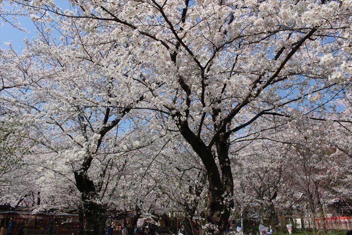 47桜苑の桜2