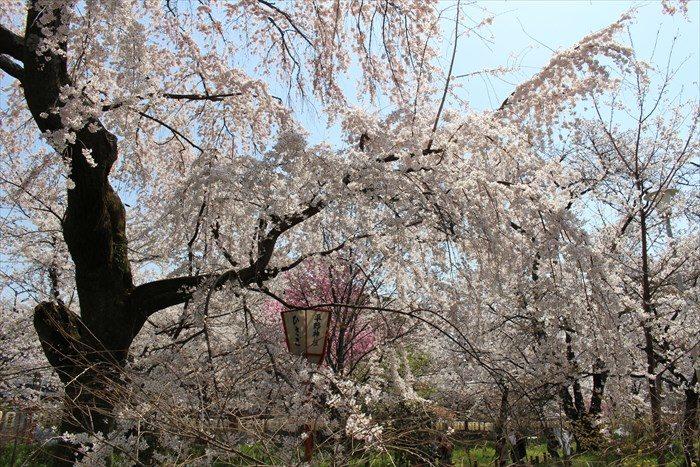 46桜苑の桜