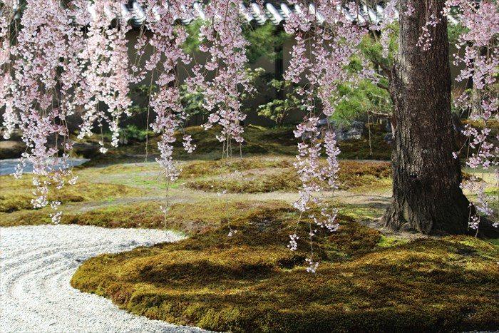 18苔と桜