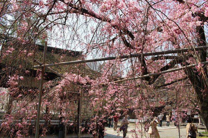 23平野神社の八重紅枝垂と拝殿