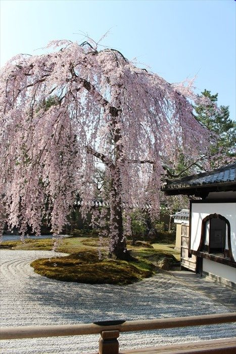 11高台寺の桜と窓(縦)