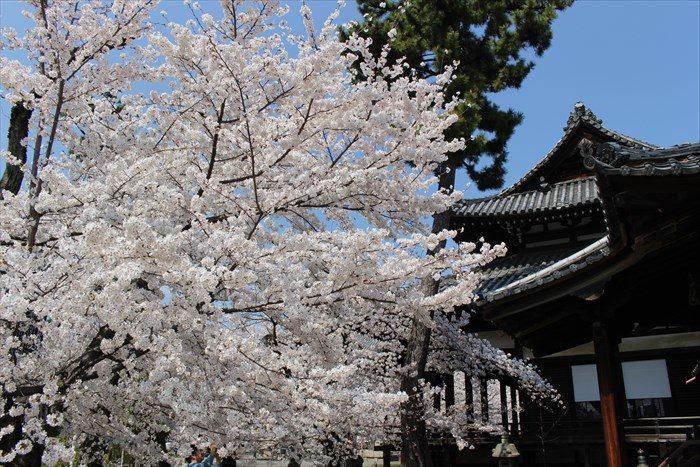 8立本寺の桜