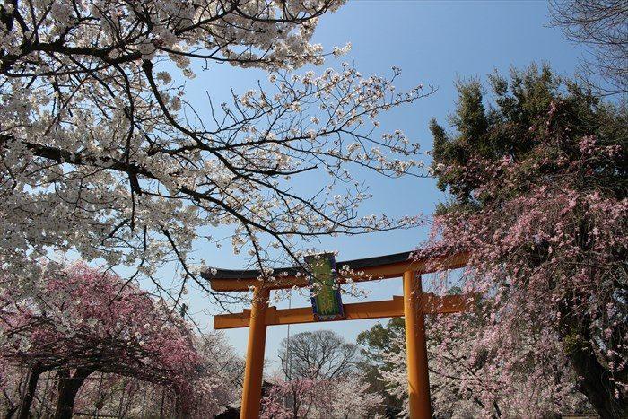 2平野神社の鳥居と桜