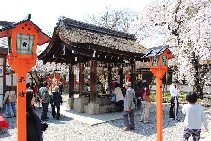 15魁桜と手水舎