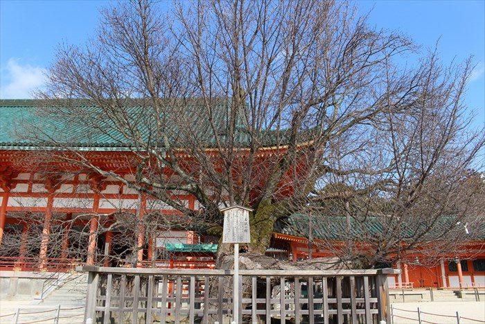23.左近の桜