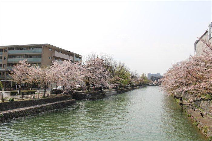 50.帰り道、鴨東運河(おうとううんが)の桜