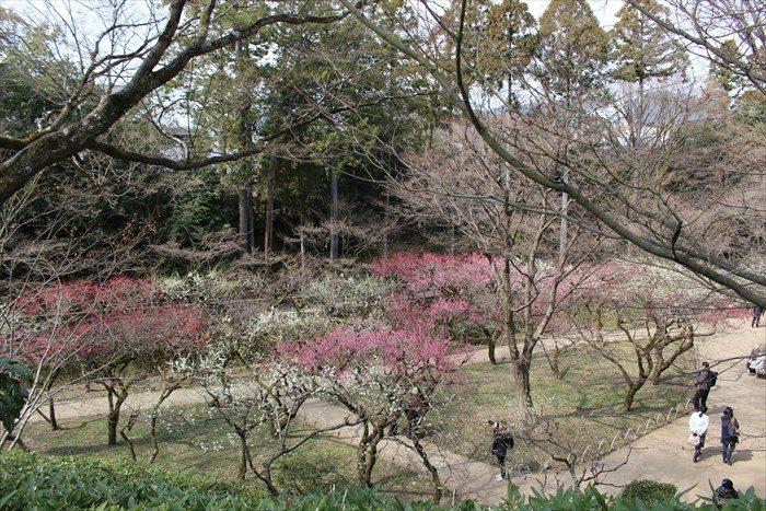 0-2梅苑側から御土居の梅林を見下ろす