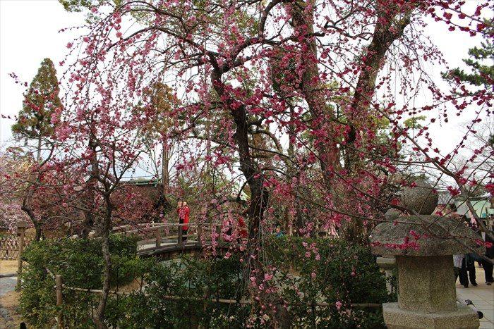 3.橋の手前の枝垂れ梅