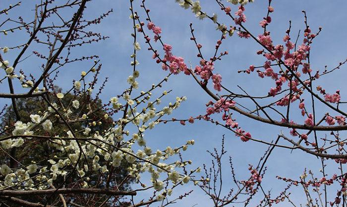 7.空と紅梅、白梅の枝
