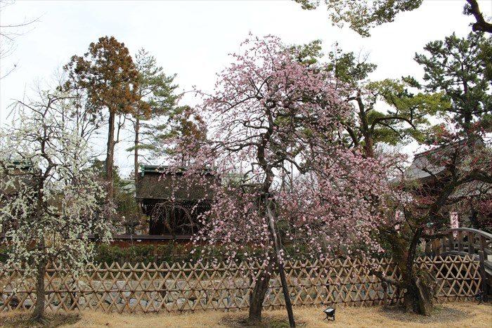 4.橋の近くの枝垂れ桜